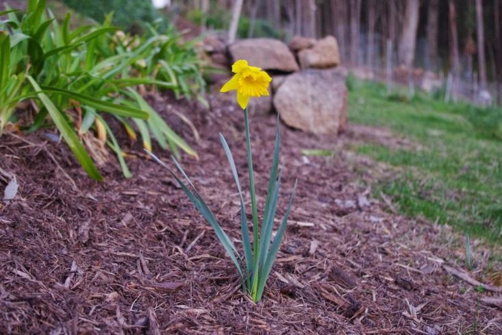 http://2.bp.blogspot.com/-I9Y9VEp7FI8/U_r_WCFS6ZI/AAAAAAAAAQY/zGvhv_pUyTw/s1600/Daffodil.jpg