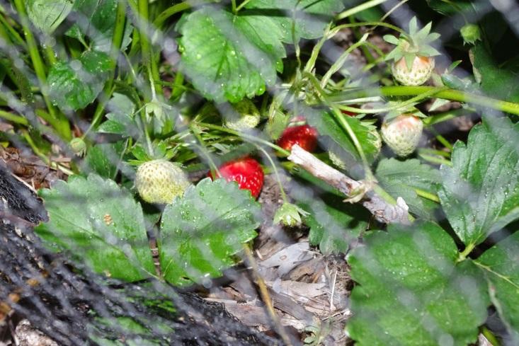 http://3.bp.blogspot.com/-migFXg5C5BQ/VGh9cY-UrpI/AAAAAAAAAhc/PKzC7qKp2ig/s1600/Strawberries.JPG
