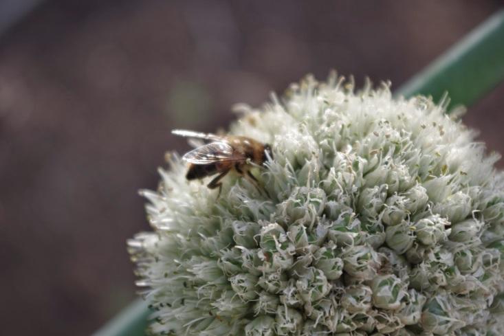 http://3.bp.blogspot.com/-p8sf6oudopY/VHL6a_NitWI/AAAAAAAAAh0/tajXmN-vpD4/s1600/Bees%2Blove%2Bonion%2Bflowers.jpg