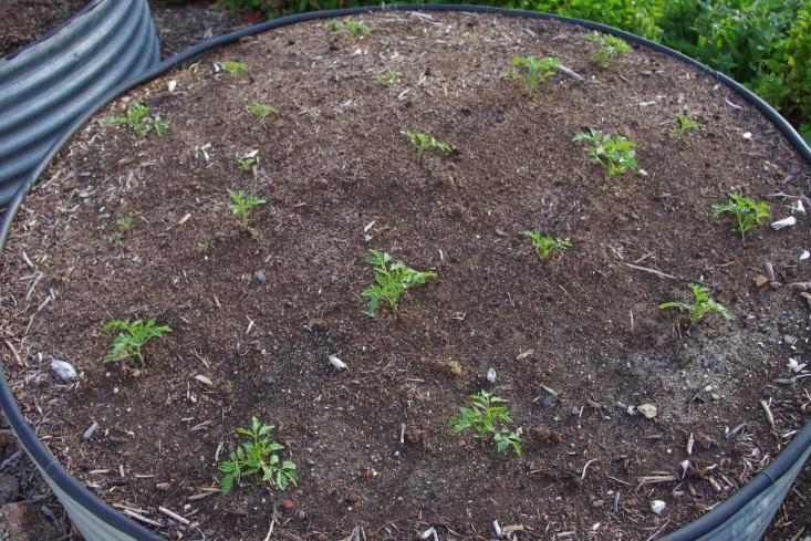 http://4.bp.blogspot.com/-BhHIxIYlOso/VHL8aEMWOiI/AAAAAAAAAjc/t_yqT4B4qqA/s1600/Tomato%2Bbed%2Bmid%2BOct%2Bplanting.jpg